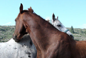Equines helping each other by working acupoints