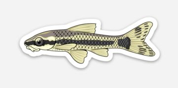 Otocinclus Catfish Sticker/Magnet/Cling - AQUAPROS