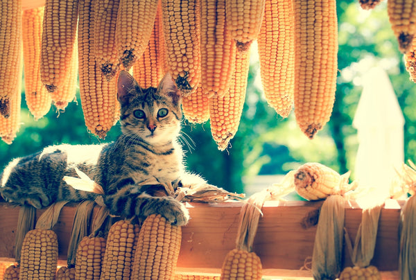 Cat Surrounded By Corn