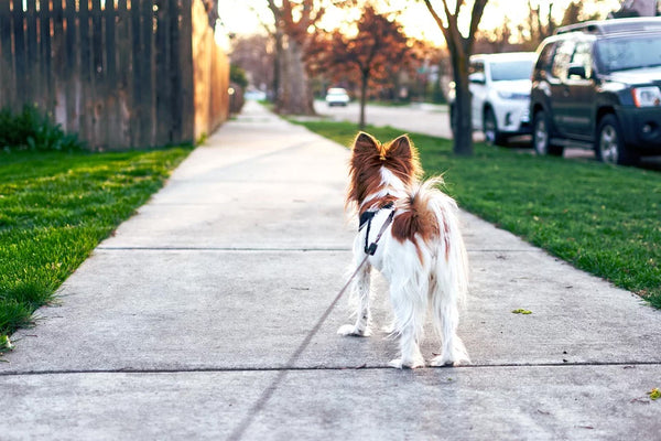 Dog going for a walk on the sidewalk.