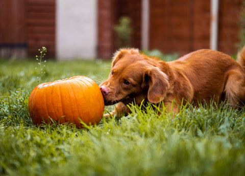 Dog Sniffing Pumpkin.