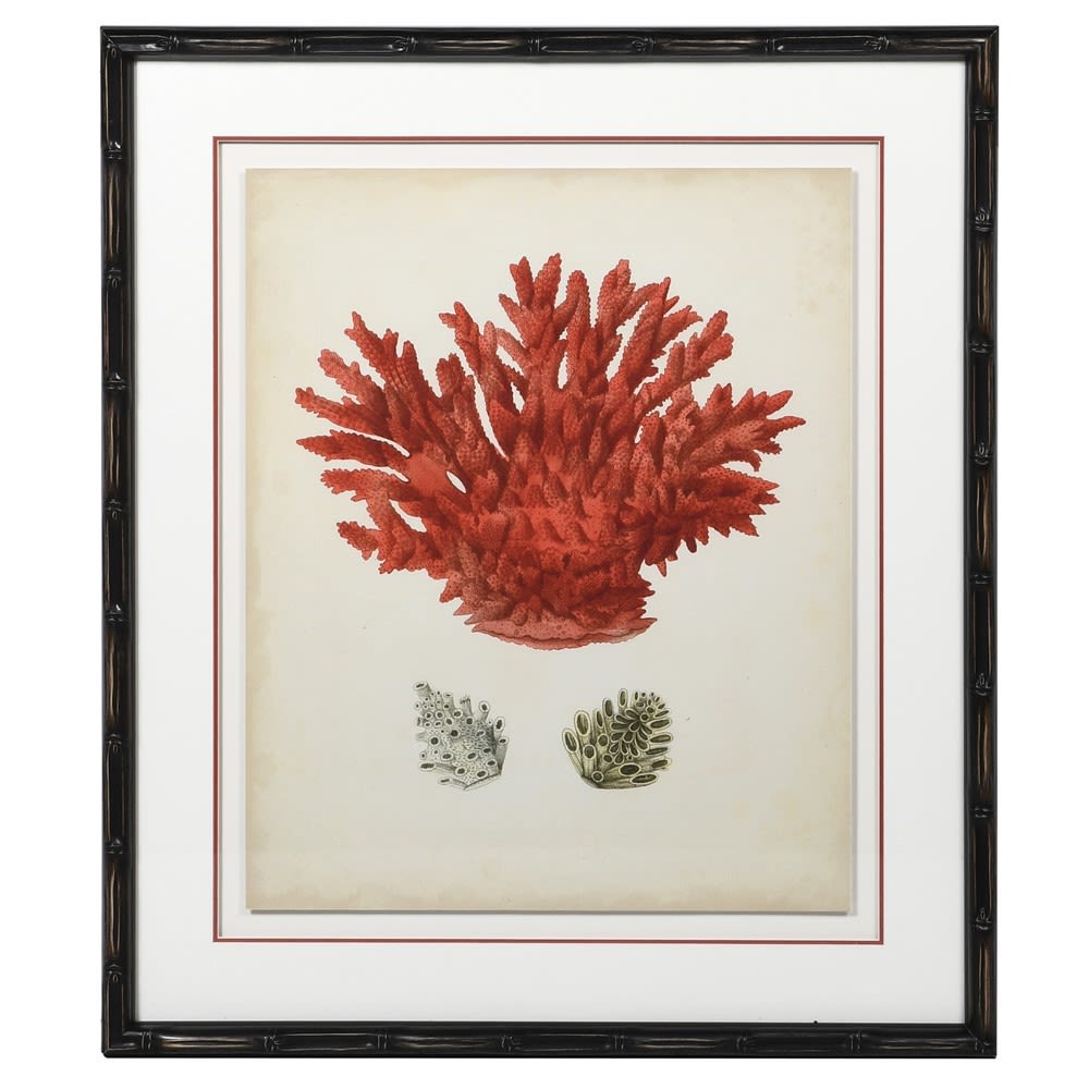 Red Coral Picture