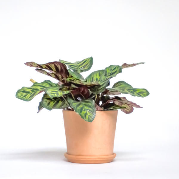 OUR 5 FAVORITE CALATHEAS