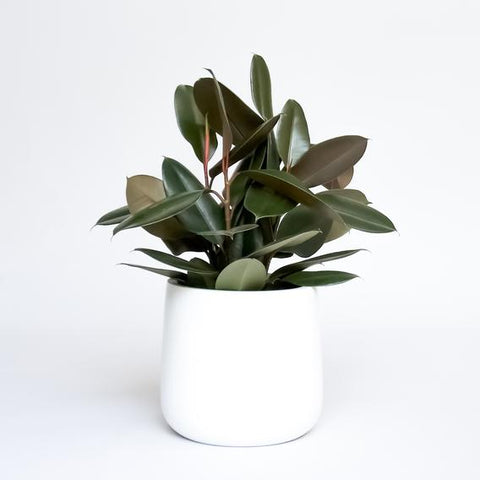 Water & Light Plant Shop Rubber Plant Ficus