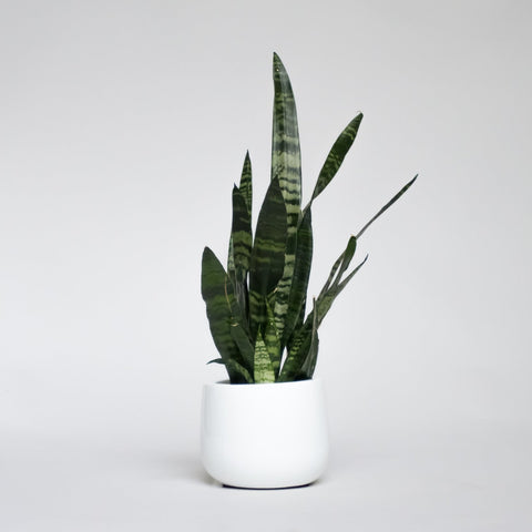 Water & Light Plant Shop Snake Plant