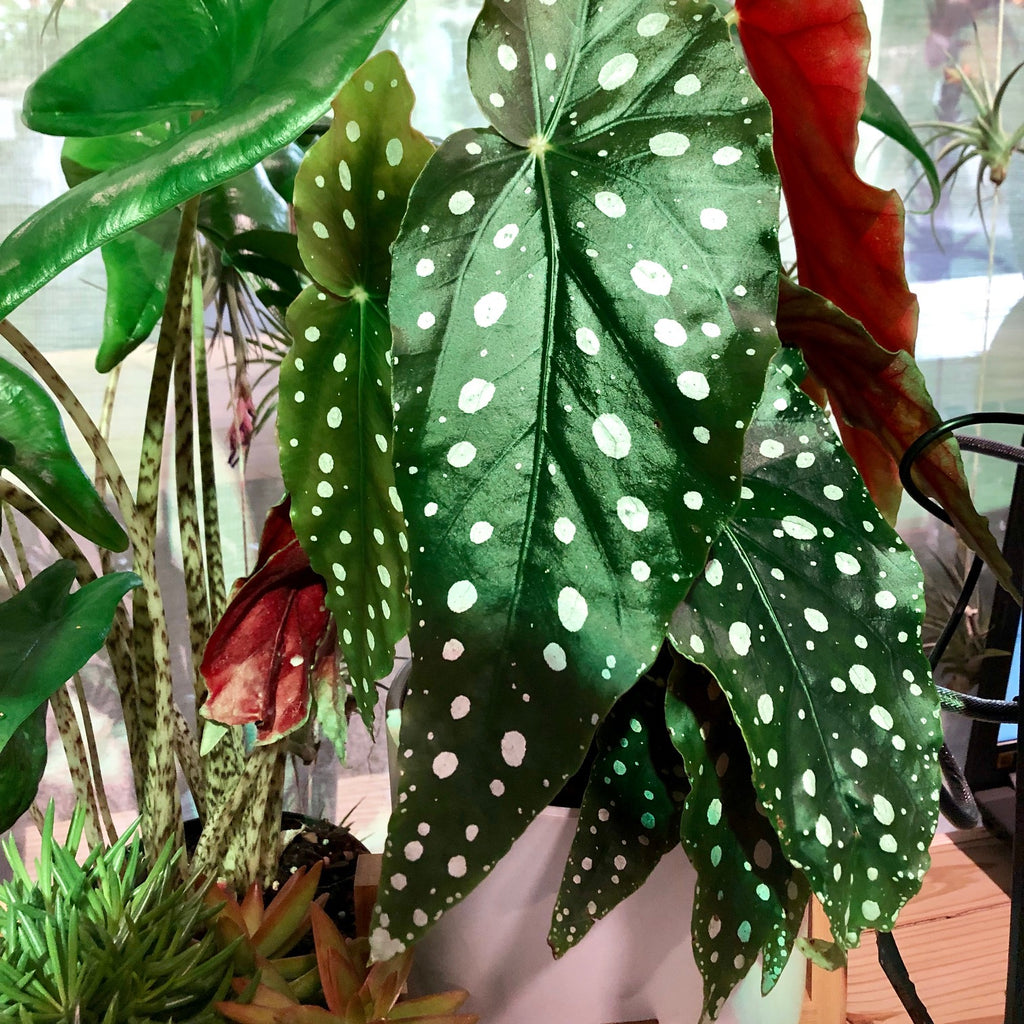 Water & Light Plant Shop - Begonia Maculata
