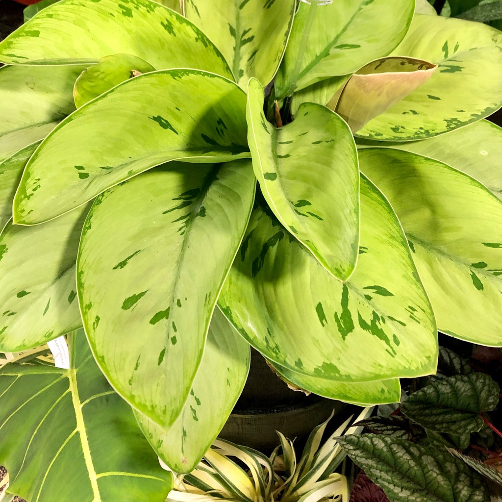 Water & Light Plant Shop - Homalomena 'Selby'
