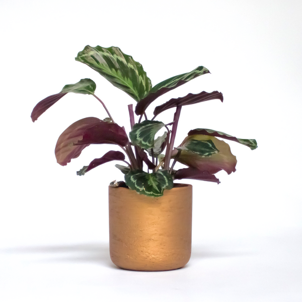 Water & Light Plant Shop Calathea Roseopicta Medallion