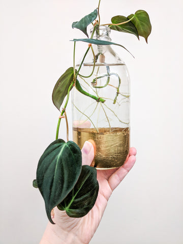 Water & Light Plant Shop's The Plant PeopleⓇ Blog with Naomi and a plant propagation