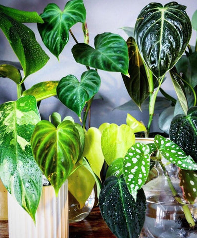 Water & Light Plant Shop's The Plant PeopleⓇ Blog with Oskar's plant collection