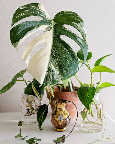 Water & Light Plant Shop's The Plant PeopleⓇ Blog with Hong-Ah's plant collection at home