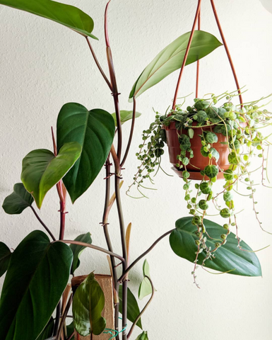 Water & Light Plant Shop's The Plant PeopleⓇ Blog with Hong-Ah's plant collection