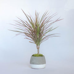 Water & Light Plant Shop Dracaena Colorama