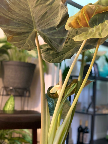 Water & Light Plant Shop's The Plant PeopleⓇ Blog with Julian's plant collection