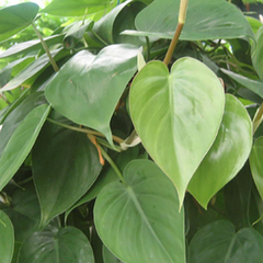 Water & Light Plant Shop Heartleaf Philodendron