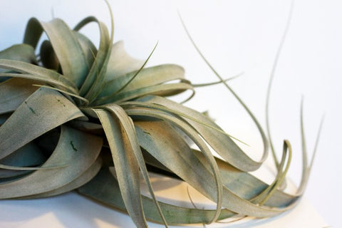 Water & Light Plant Shop Air Plant