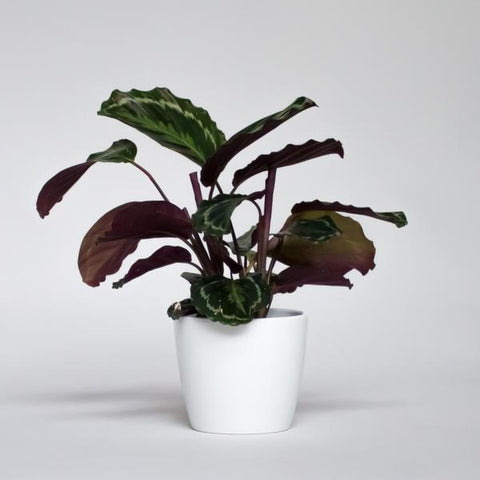 Water & Light Plant Shop Calathea Medallion