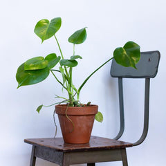 Water & Light Plant Shop Monstera