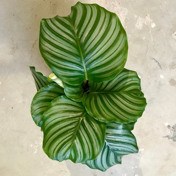 Water & Light Plant Shop Calathea Orbifolia Bolivian Prayer Plant