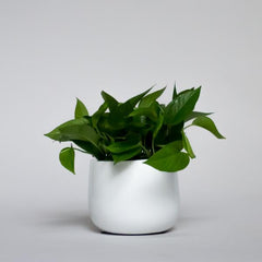 Water & Light Plant Shop Pothos