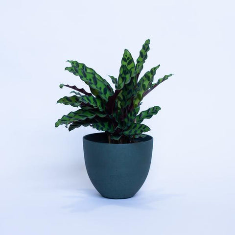 Water & Light Plant Shop Calathea Rattlesnake