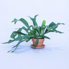Water & Light Plant Shop Staghorn Fern