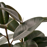 RUBBER PLANT (SMALL)