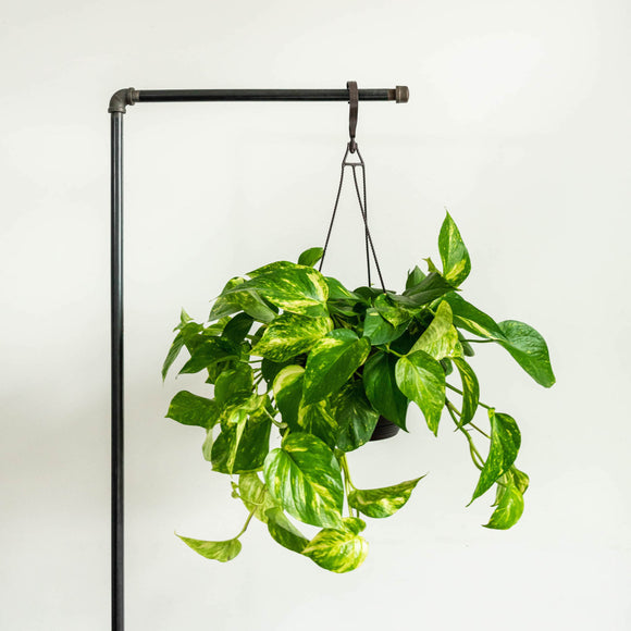 Water & Light Plant Shop Epipremnum Aureum Golden Pothos Plant in nursery pot