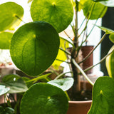Water & Light Plant Shop Pilea Peperomioides Chinese Money Plant leaf detail