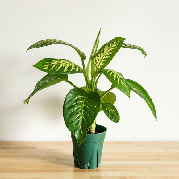 Water & Light Plant Shop Dieffenbachia Dumbcane Tropic Snow Plant in nursery pot