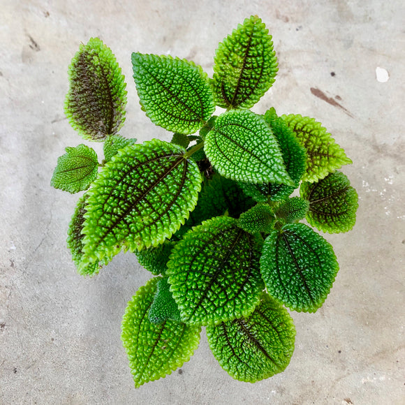 Water & Light Plant Shop Pilea Involucrata Crinkle Plant