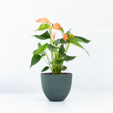 Water & Light Plant Shop Orange Anthurium Laceleaf Flamingo Flower in green