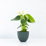 Water & Light Plant Shop White Anthurium Laceleaf Flamingo Flower in green