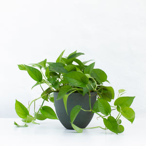 Water & Light Plant Shop Jade Pothos Plant in green pot