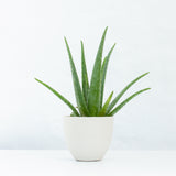 Water & Light Plant Shop Aloe Vera in white