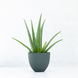 Water & Light Plant Shop Aloe Vera in green