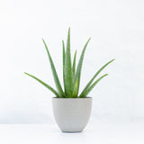 Water & Light Plant Shop Aloe Vera in grey