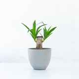 Water & Light Plant Shop Filamentosa Yucca Tip Plant in grey pot