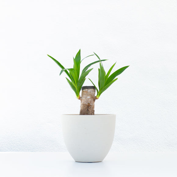 Water & Light Plant Shop Filamentosa Yucca Tip Plant in white pot