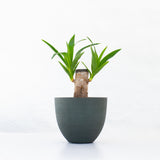 Water & Light Plant Shop Filamentosa Yucca Tip Plant in green pot