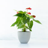 Water & Light Plant Shop Red Anthurium Laceleaf Flamingo Flower in grey