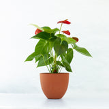 Water & Light Plant Shop Red Anthurium Laceleaf Flamingo Flower in orange