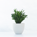 Water & Light Plant Shop Dracaena Janet Craig Compacta Plant in white pot