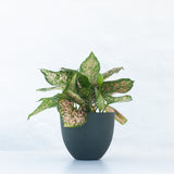 Water & Light Plant Shop Aglaonema Etta Rose in green