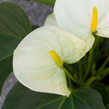 Water & Light Plant Shop White Anthurium flower