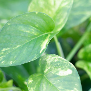 Water & Light Plant Shop Epipremnum Aureum Golden Pothos Plant leaf detail