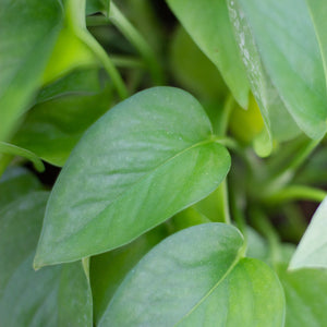 Water & Light Plant Shop Epipremnum Aureum Jade Pothos Plant leaf detail