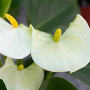 Water & Light Plant Shop White Anthurium Laceleaf Flamingo Flower detail