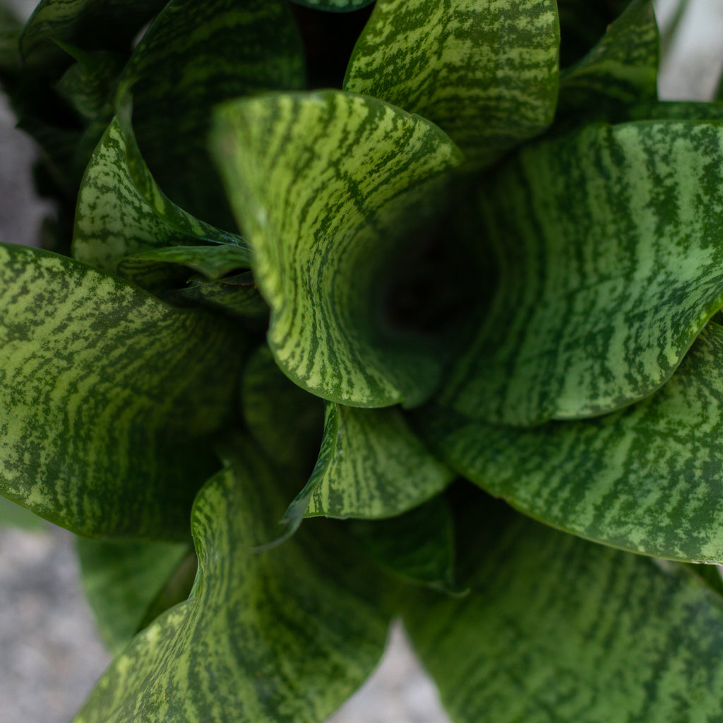 Water & Light Plant Shop Small Snake Plant Sansevieria leaf