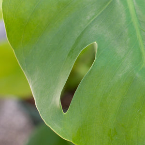 Water & Light Plant Shop Small Philodendron Monstera Deliciosa Plant leaf detail